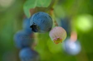 blueberries, i am dawn