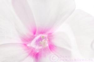 flower, i am dawn
